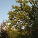 Garden Inventory: Chinese Elm (Ulmus parvifolia) - 07
