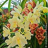 ... Cymbidium Moondust 'Miss Chen' from Hatfield Orchids. Buttery yellow flowers, adorne this delicious cascading cymbidium. A hybrid between two of the greats, Cymbidiums Sarah Jean 'Ice Cascade' 4N and Fifi 'Harry' 4N. A very prolific bloomer. Cool grow