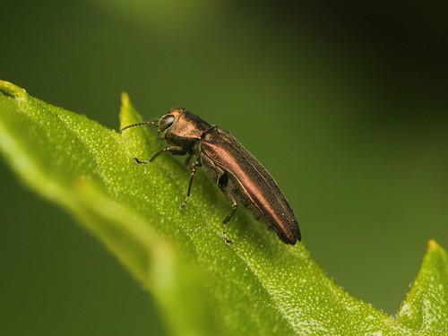 Agrilus komareki クワナガタマムシ