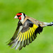 Goldfinch in flight ~ Explored by Margaret S.S