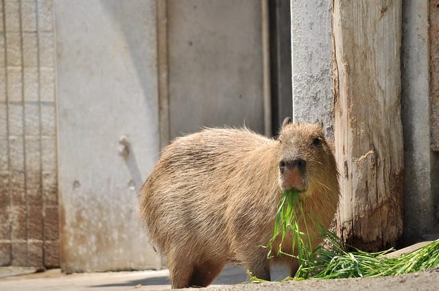 上野動物園のカピバラ