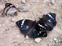 Mimathyma (Amuriana) schrenckii