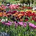 Cambo tulips by Viche