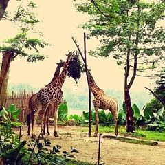 zoo, giraffe, fauna, giraffidae, safari, wildlife,
