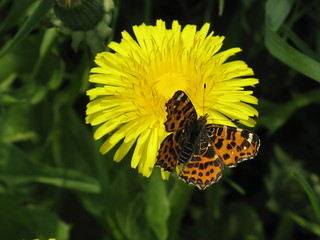 Dandelion and a butterfly
