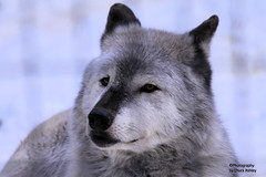 Silver Wolf Eye Contact W_8324