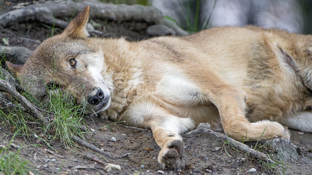 Wolf, just lying