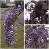 More #spring #wisteria
