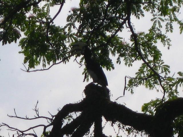 Taiping Lake garden hornbill l IMG_5925