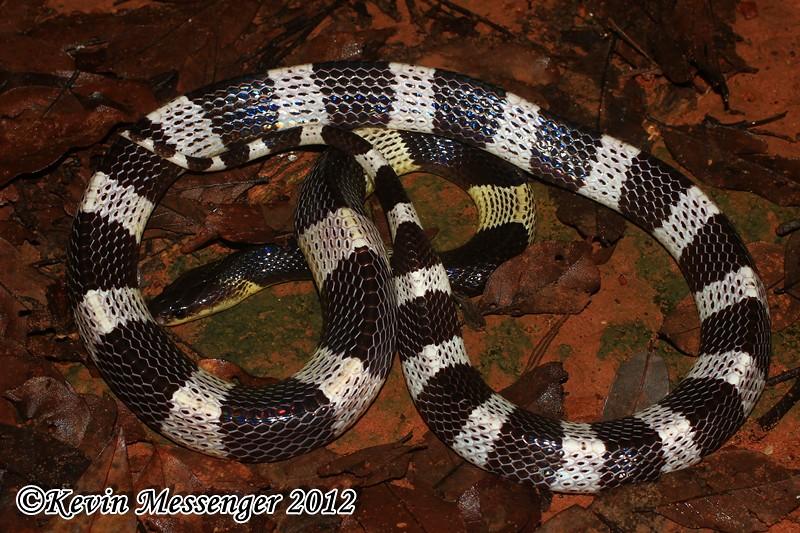 Bungarus candidus (Blue krait) งูทับสมิงคลา, งูทับทางขาว, งูปล้องเงิน