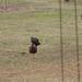 Hens approaching