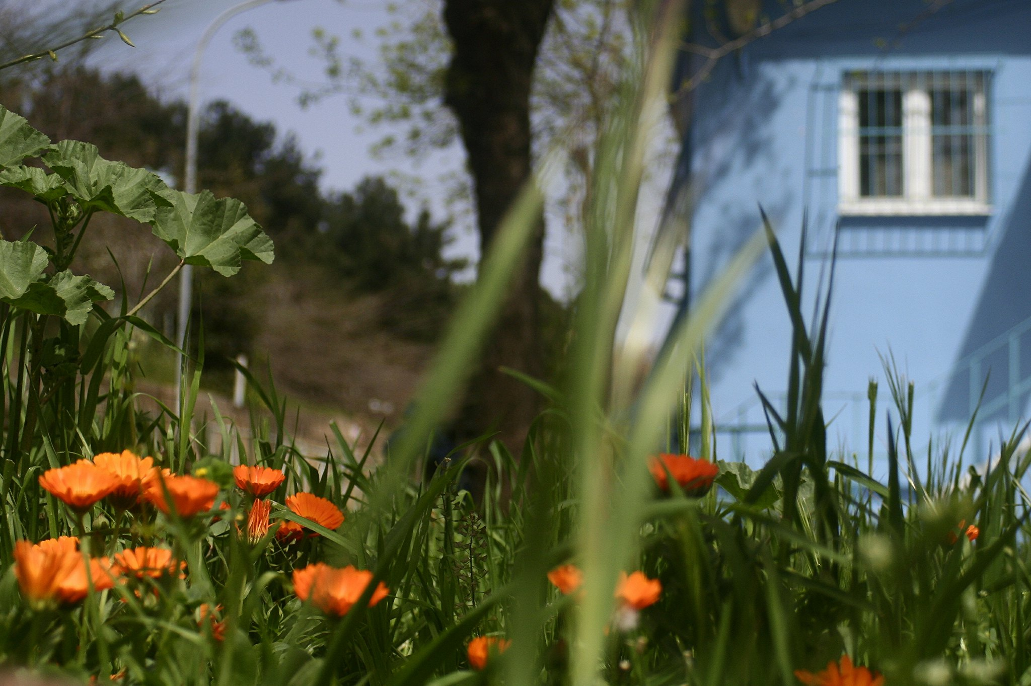 Orange flowers, blue house