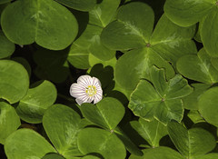 annual plant, shrub, flower, clover, leaf, plant, herb, wildflower, flora, green, petal, aquatic plant,