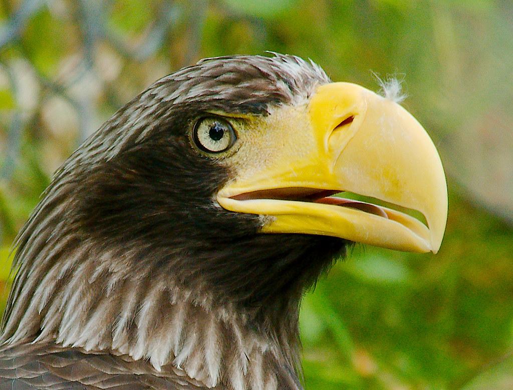 Steller's Sea Eagle (Haliaeetus pelagicus)_1