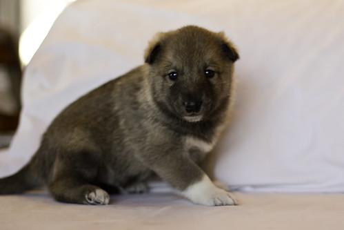 Ike-Kilbe-Pup3-Male(Day 22)-2