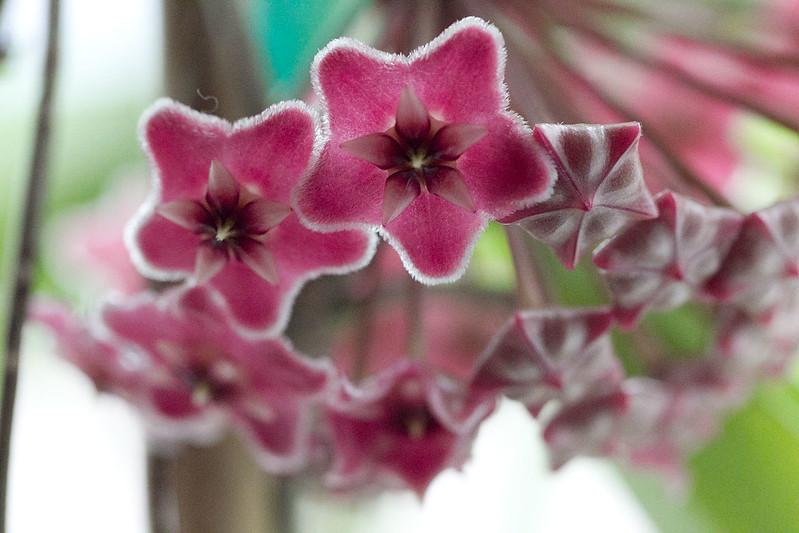 Hoya publicalyx Pink Silver