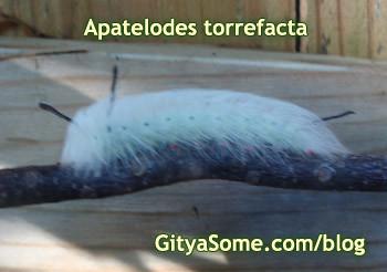 Apatelodes torrefacta Caterpillar