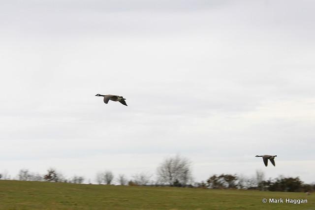 Geese landing at Hicks Lodge