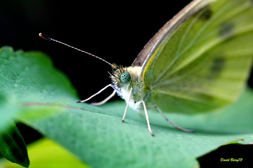 The Cabbage White