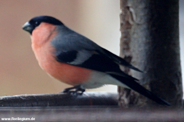 Gimpel (Dompfaff, Blutfink) im Garten, Pyrrhula pyrrhula