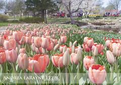 2013 Tulip Time, Gage Park - Topeka, KS