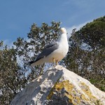 Seagull on Penyal d' Ifach