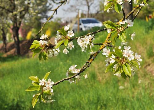 Bienenstandort in Neckarhausen: Kirschblüte