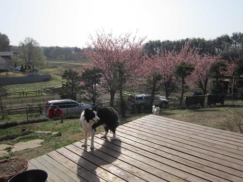 ペットホテルでのランディ 2013.4.19 by Poran111