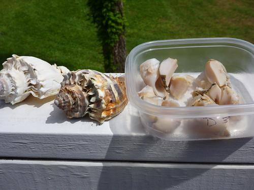 crown conch meat