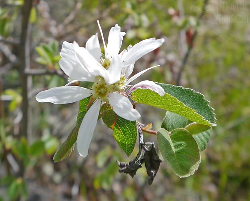 washington serviceberry rosaceae amelanchier klickitatcounty utahserviceberry amelanchierutahensis