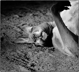 Eastern Grey Kangaroo - dust bath