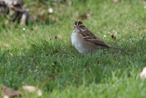 Clay coloured sparrow by ricmcarthur