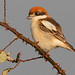WOODCHAT SHRIKE Lanius senator by Rich Andrews