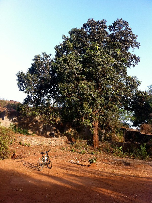 Ghodbunder Fort - Mango Tree