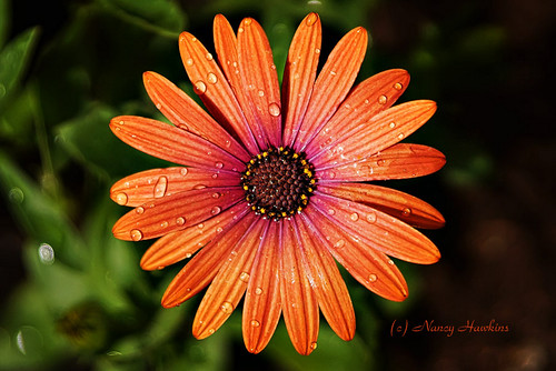 Vibrant Petals by Nancy Hawkins
