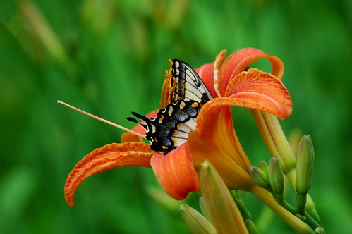 butterfly lily flower dof carolina ncmountainman nikon d70s phixe nationalgeographicsociety lowresolutionversion macro insect pollen bloom bud wings wildflower lakelure ngs