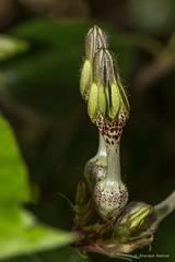 Ceropegia vincaefolia