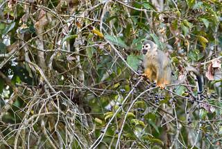 Mono ardilla común ( Saimiri sciureus )