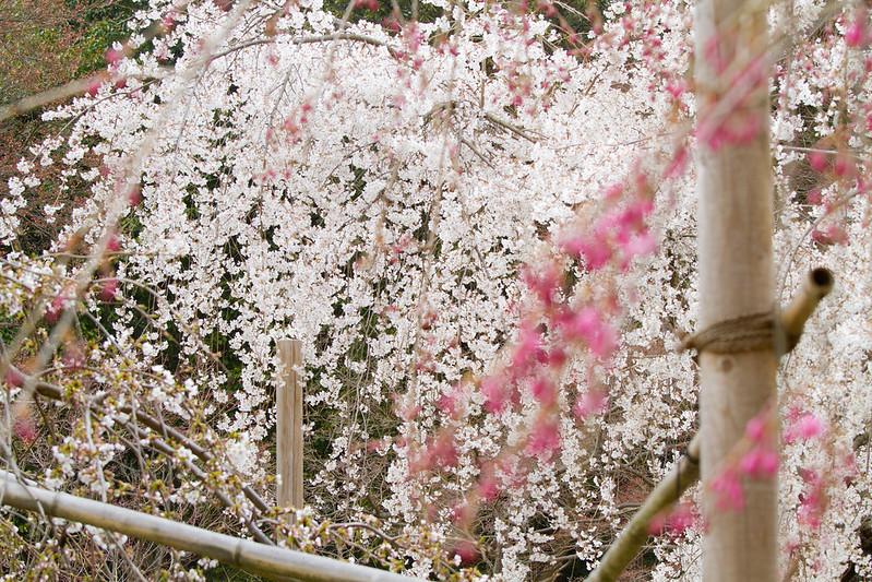 Sakura in Kyoto 15