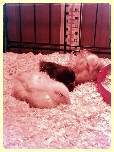 chickies