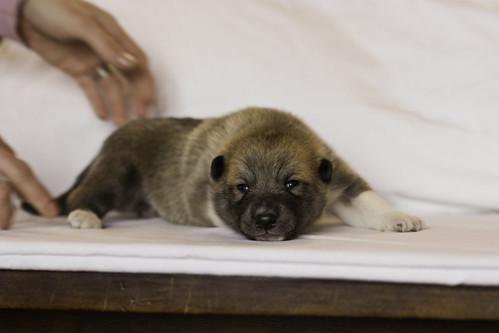 Ike-Kilbe-Pup4-Male(Day 13)-23