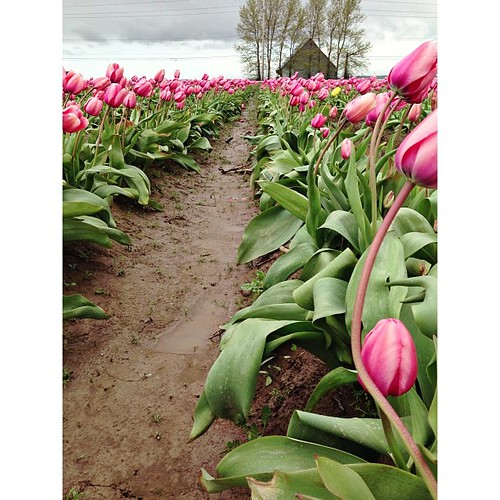 #PicTapGo #tulips