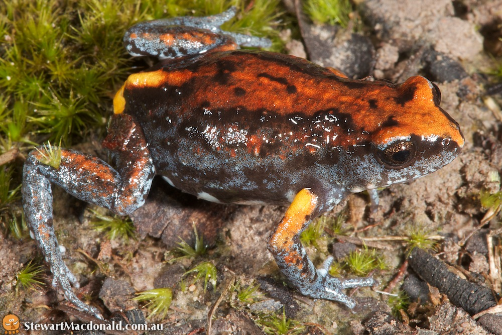 Covacevich's brood-frog (Pseudophryne covacevichae)