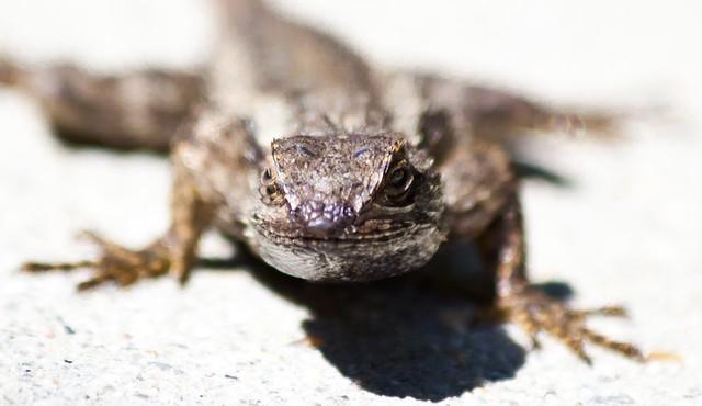 LA Lizard