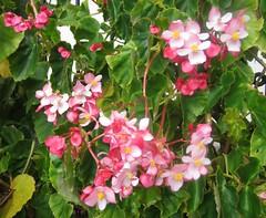 blossom(0.0), busy lizzie(0.0), lantana camara(0.0), annual plant(1.0), shrub(1.0), flower(1.0), begonia(1.0), garden(1.0), plant(1.0), flora(1.0), petal(1.0),