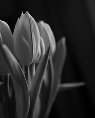 tulips close up bw