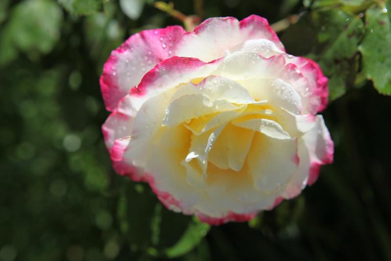 rose_103