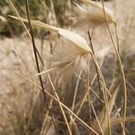 Grass flower, Santa Pola