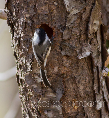Chickadee building a nest
