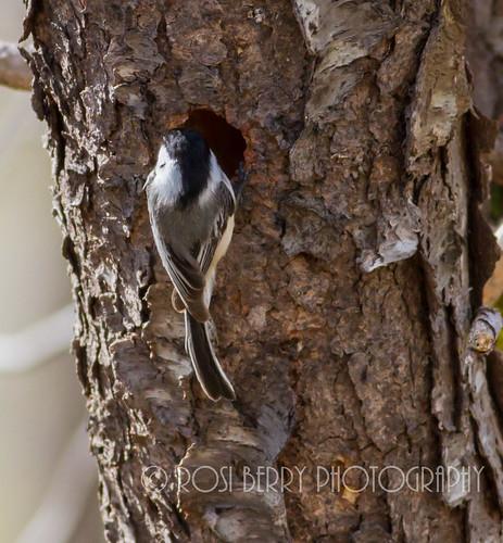Chickadee building a nest